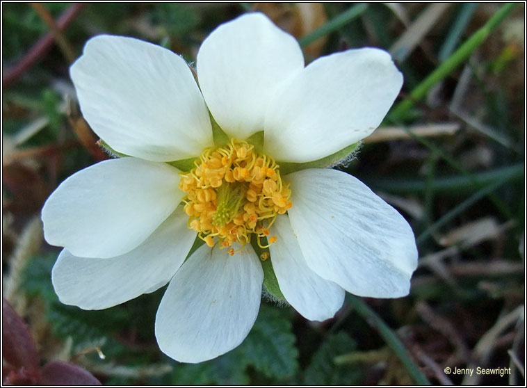 Mountain Avens, Dryas octopetala