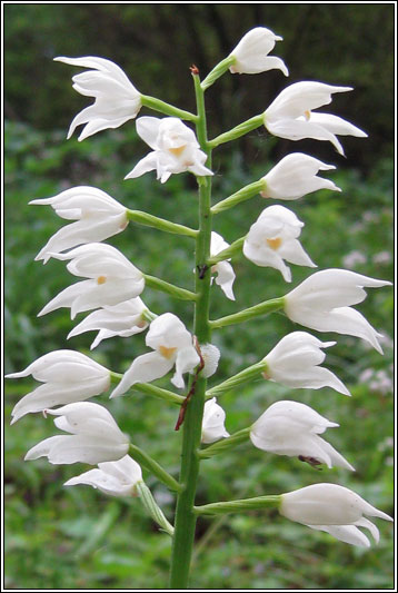 Narrow-leaved Helleborine, Cephalanthera longifolia