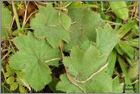Hairy Lady's-mantle, Alchemilla filicaulis