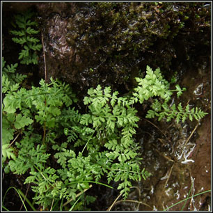 Brittle Bladder-fern, Cystopteris fragilis