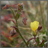 Spotted Rock-rose, Tuberaria guttata