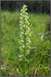 Small-white Orchid, Pseudorchis albida
