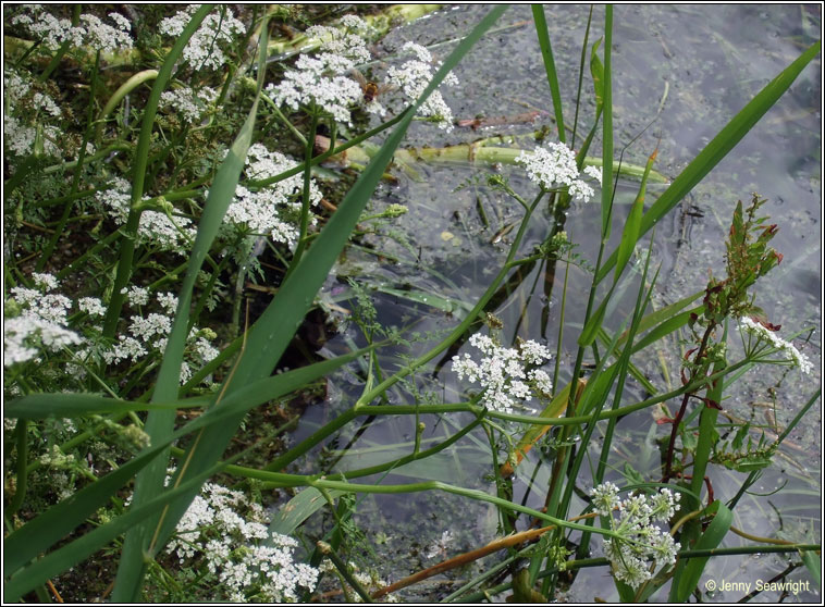 Fine-leaved Water-dropwort, Oenanthe aquatica