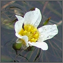 Thread-leaved Water-crowfoot, Ranunculus trichophyllus