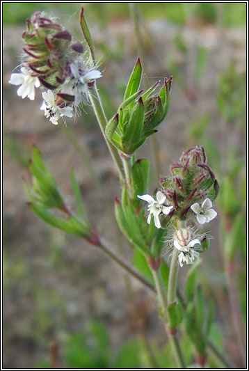 Small-flowered Catchfly, Silene gallica