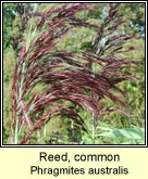 reed,common