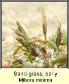 sand-grass,early