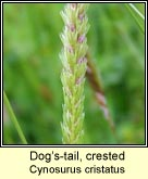 dogs-tail,crested