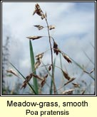 meadow-grass,smooth