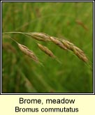 Brome, meadow
