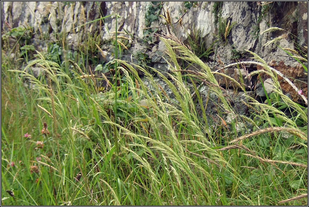 Yellow Oat-grass, Trisetum flavescens