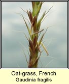 Oat-grass, French