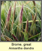 Brome, great