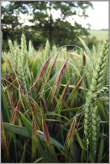 Great Brome, Anisantha diandra