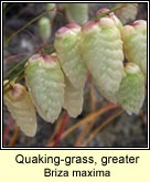 quaking-grass, greater