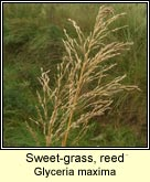 Sweet-grass, reed