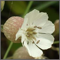 Sea Campion, Silene uniflora