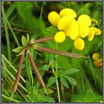 Common Birds-foot-trefoil, Lotus corniculatus var sativus