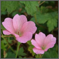 French Crane's-bill, Geranium endressii