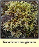 Frullania sp