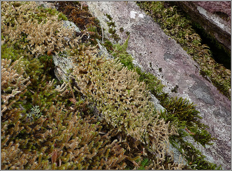 Common Liverwort, Pellia epiphylla
