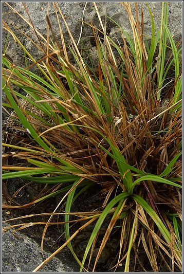 Long-stalked Yellow-sedge, Carex viridula ssp brachyrrhyncha