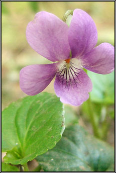 violet,common dog-violet (fanaigse)