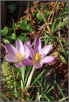 crocus,early