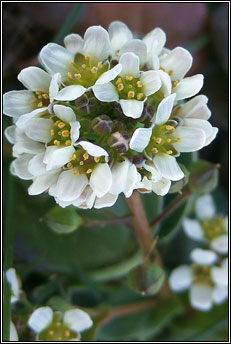 scurvygrass,common (biolar trá)