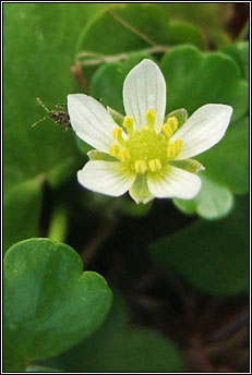 water-crowfoot,round-leaved (néal uisce cruin)