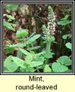 mint,round-leaved (mismín cumhra)