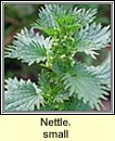 nettle,small (neantóg bheag)