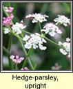 hedge-parsley,upright (fionnas fáil)