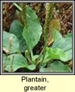 plantain,greater (cuach phádraig)