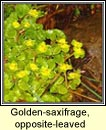 golden-saxifrage,opposite-leaved (glóris)