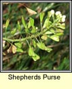 shepherds purse (lus an sparáin)