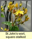 st johns-wort,square-stalked (beathnua fireann)