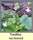 toadflax,ivy-leaved (lus lín an fhalla)