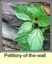 pellitory-of-the-wall (feabhraíd)