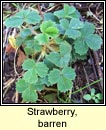 strawberry,barren (sú talún bréige)