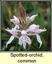 orchid,common spotted (naucht bhallach)