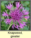 knapweed,greater (mínscoth mhor)