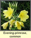 evening primrose, common (coinneal oiche)