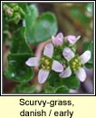 scurvygrass,danish (carrán creige)