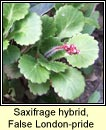 saxifrage,false londonpride
