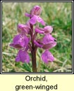 orchid,green-winged (magairlín féitheach)