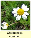 chamomile,common (camán meall)