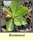 brookweed (falcaire uisce)