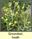 groundsel,heath (grúnlas móna)