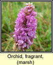 orchid,marsh fragrant (lus taghla)